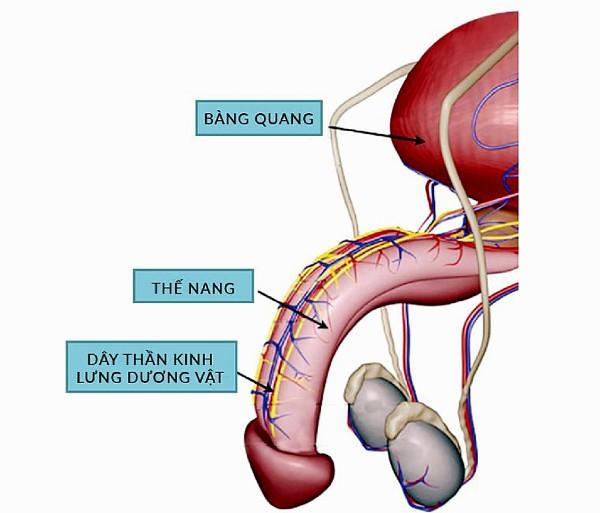Hệ thống thần kinh trong dương vật