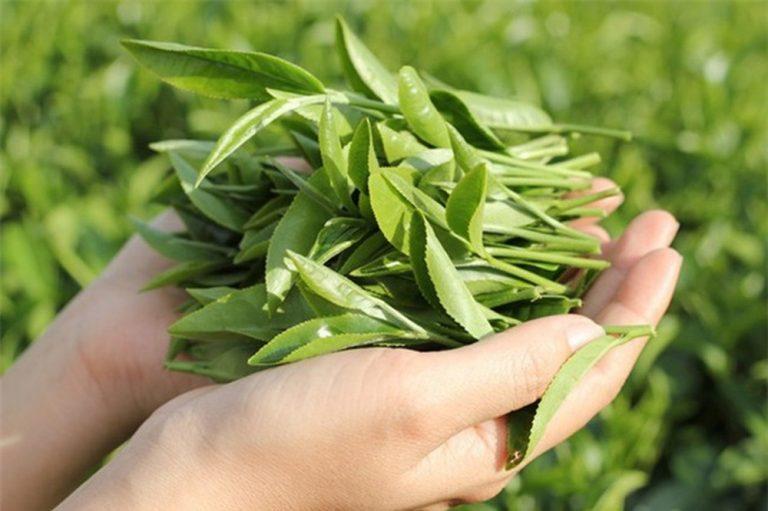 Trà xanh giúp điều trị bệnh viêm lộ tuyến